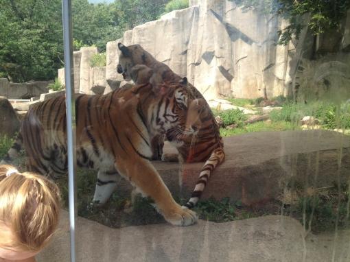 Tigers at Milwaukee County Zoo